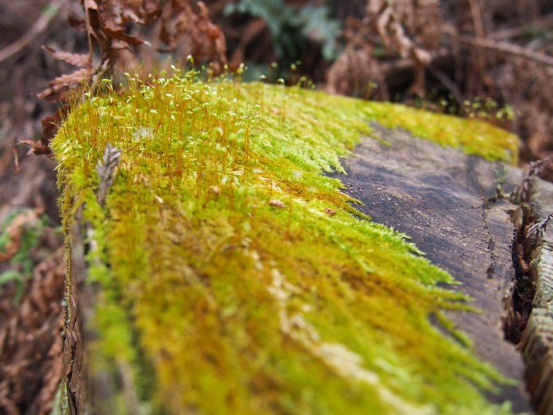 切り株の苔から植物が生えてきています。