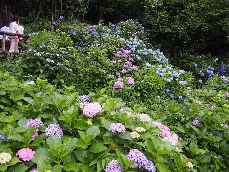 あじさいの小径に咲く色とりどりのあじさい
